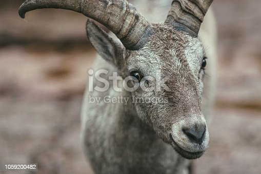 Animal, Goat, Horn, Brown, Close-up