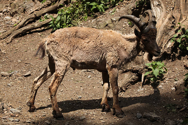 west kaukasier tur (capra caucasica) - steinbock mann stock-fotos und bilder