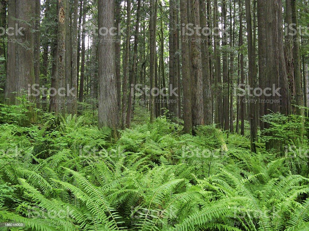 West Coast Cedar Forest with Ferns royalty-free stock photo