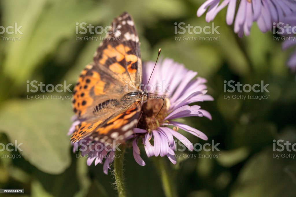 West coast lady butterfly, Vanessa annabella 免版稅 stock photo