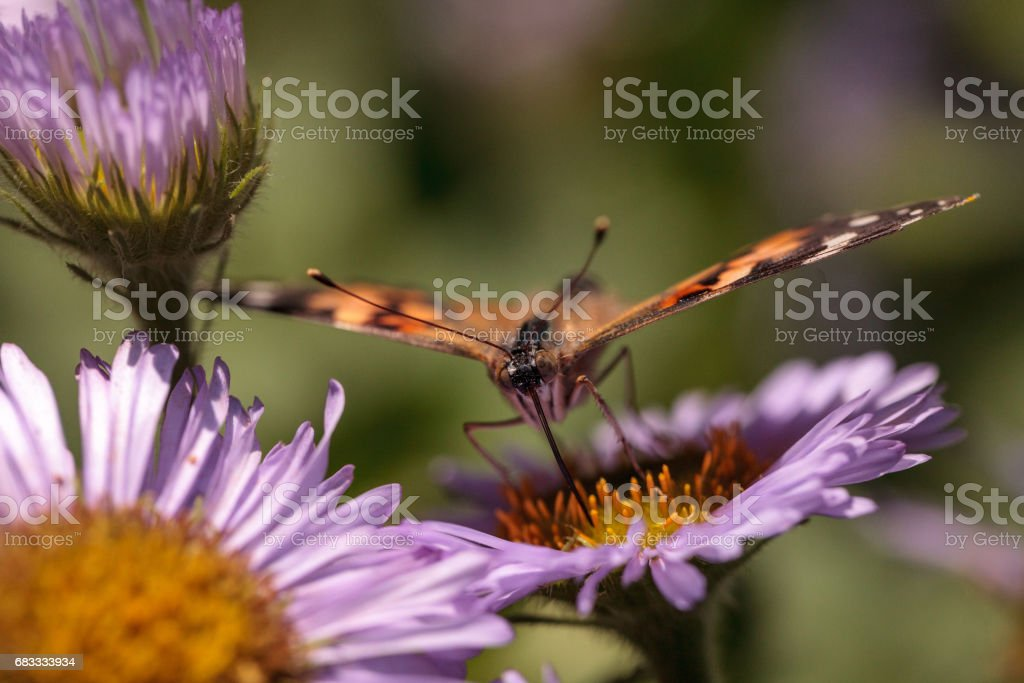 West coast lady butterfly, Vanessa annabella 免版稅 stock photo