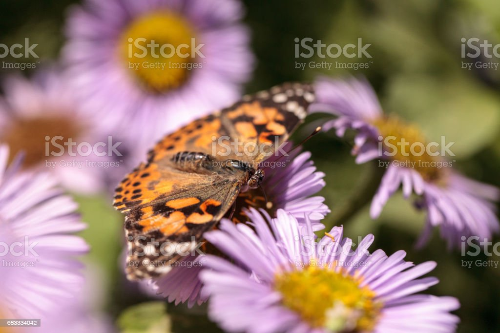 West coast lady butterfly, Vanessa annabella royalty-free stock photo