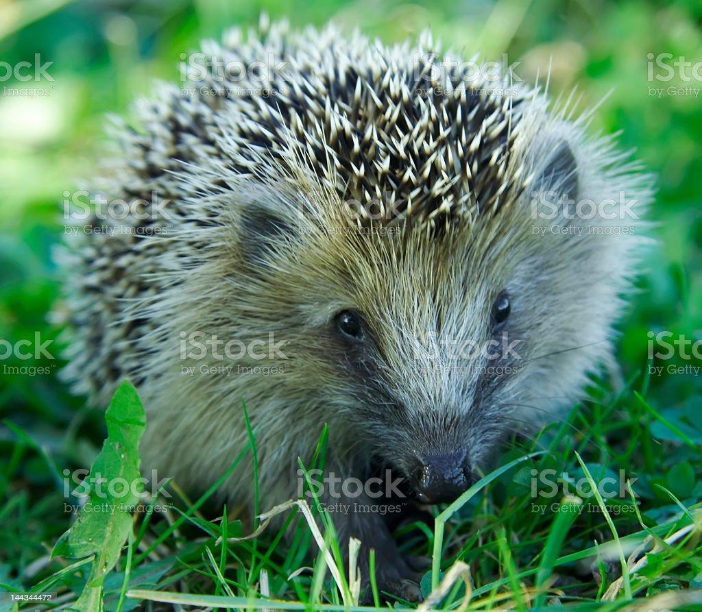 West European Hedgehog (Erinaceus europaeus) royalty-free stock photo