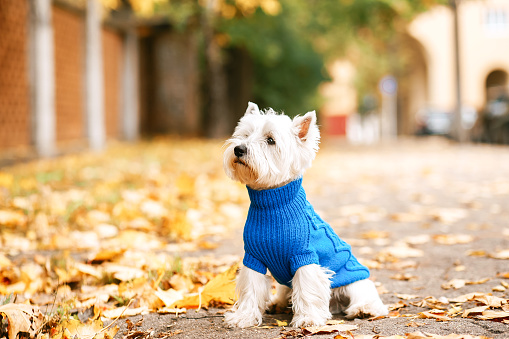 west highland white terrier  playing in the park on the autumn foliage. gold nature. dog in blue pullover