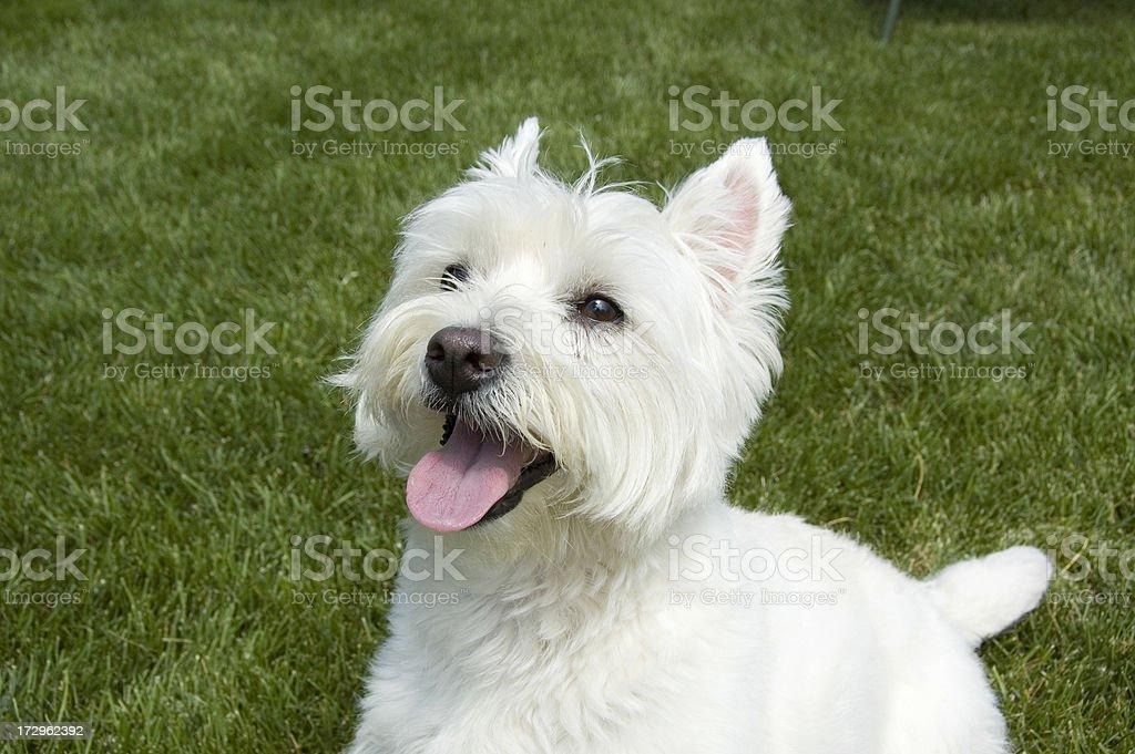 West Highland Terrier dog stock photo