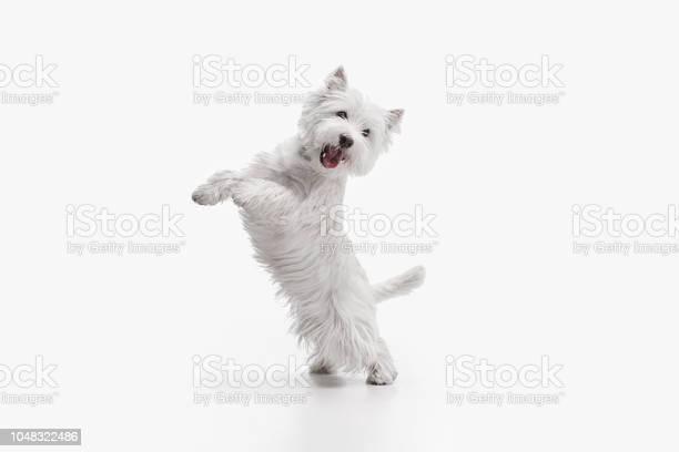West highland terrier in front of white background picture id1048322486?b=1&k=6&m=1048322486&s=612x612&h=h3sjc3fm azy36xf7zvhusleaah3vgmdscglxdtvlmq=