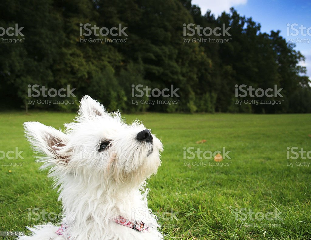 West Highland Terrier in the park. stock photo