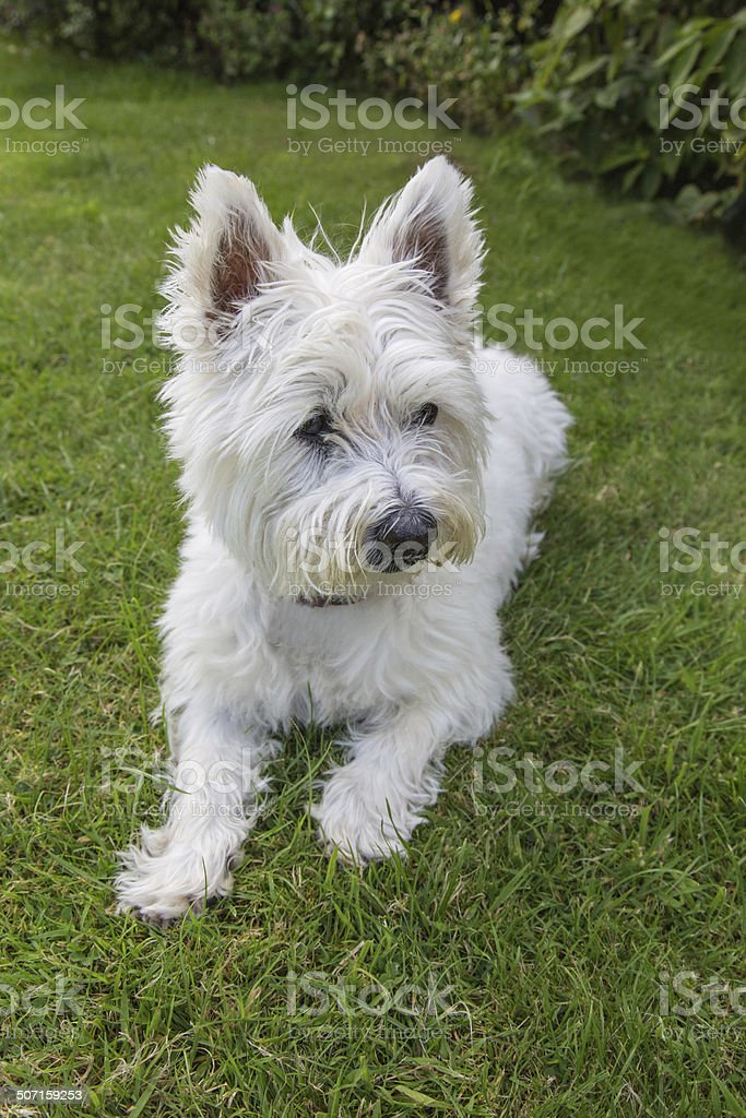 West highland Terrier lying down royalty-free stock photo