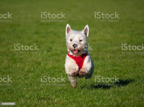 West highland terrier picture id638359992?b=1&k=6&m=638359992&s=612x612&h=kqfitopkfmlwncuch31fs7qlnaylr5ud rhbotsqm5s=