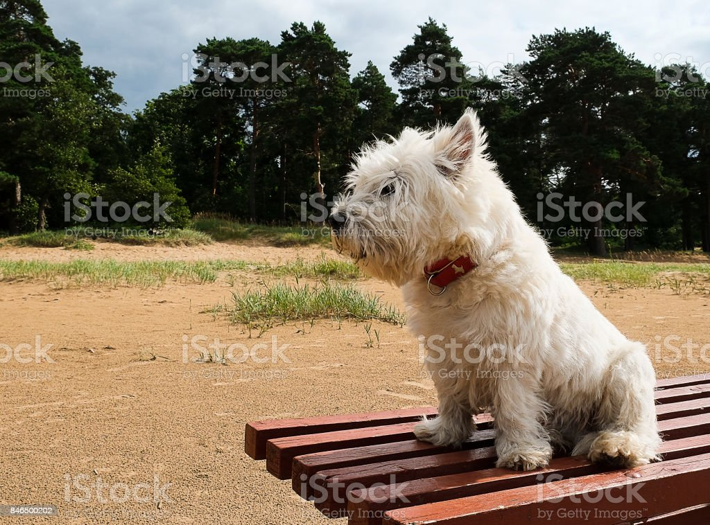 West highland terrier. stock photo
