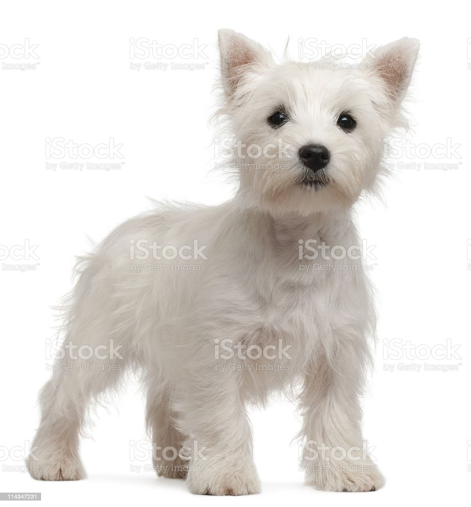 West Highland Terrier puppy, four months old, white background. stock photo