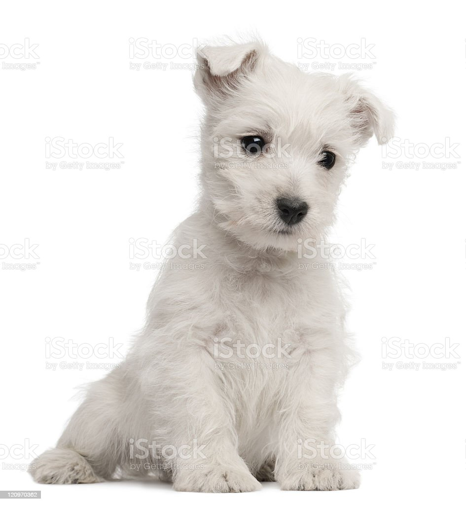 West Highland Terrier puppy, seven weeks old, white background. stock photo