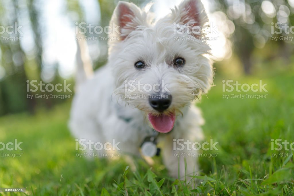 West highland terrier with tongue out walking towards camera down low stock photo