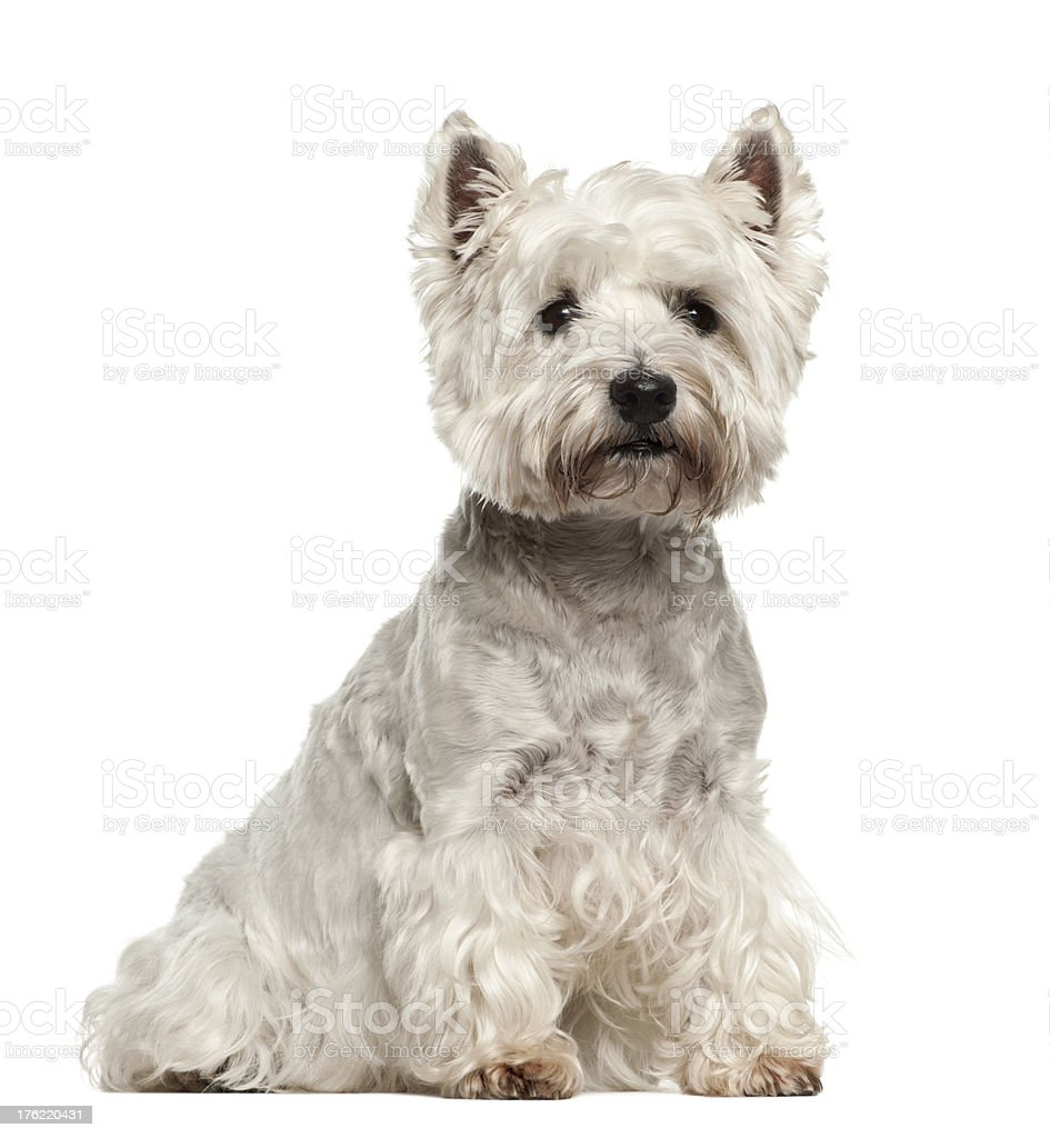 West Highland White Terrier, 5 years old stock photo