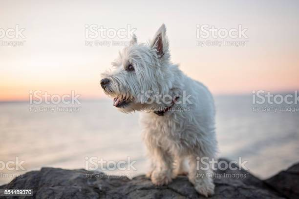 West highland white terrier a very good looking dog picture id854489370?b=1&k=6&m=854489370&s=612x612&h=aomszibmrzmrzhuutrnrw57e5plauyjdaw5babglc98=