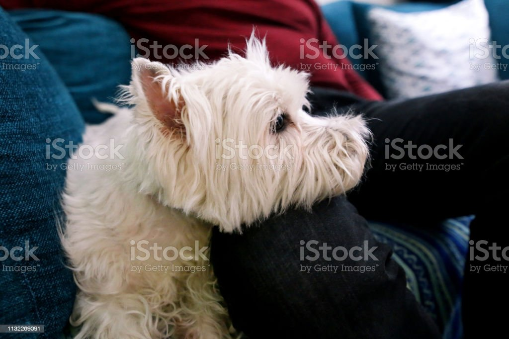 West Highland White Terrier dog enjoys company of his owner sitting...
