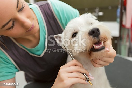 West highland white terrier with dog groomer