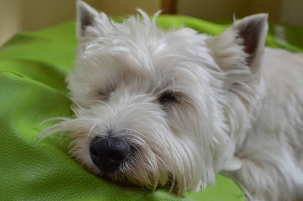 west highland white terrier liggande på hans säng sover. westy. naturen, hund, husdjur, porträtt. - manchesterterrier bildbanksfoton och bilder