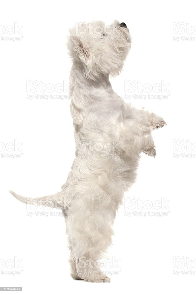 West highland white terrier auf hind Beine – Foto