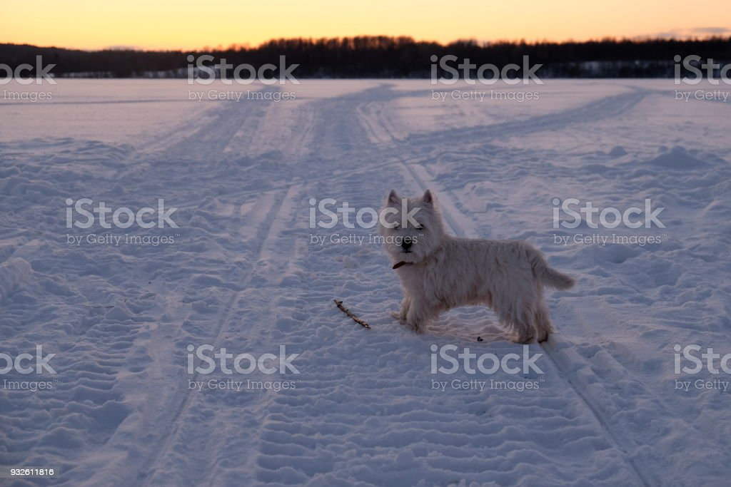 West highland white terrier on the snow. stock photo