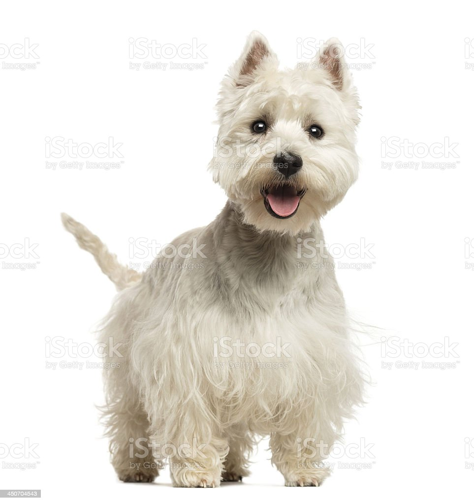 West Highland White Terrier panting, looking happy stock photo