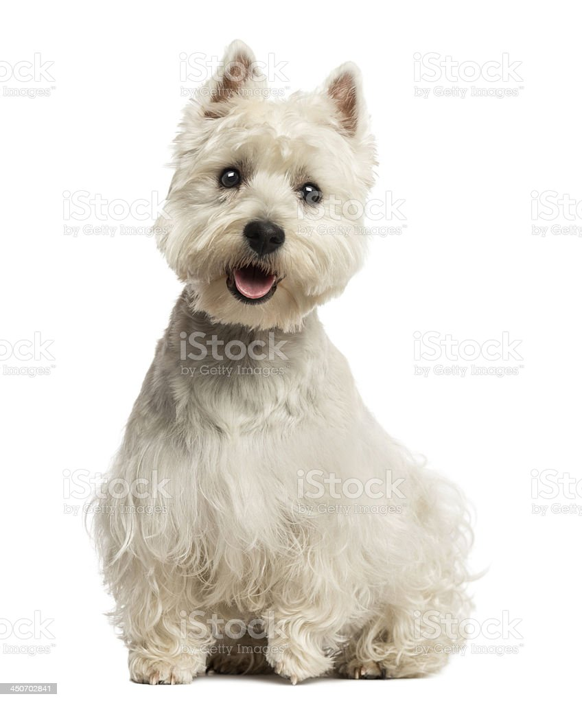 West Highland White Terrier panting, sitting, 18 months old stock photo