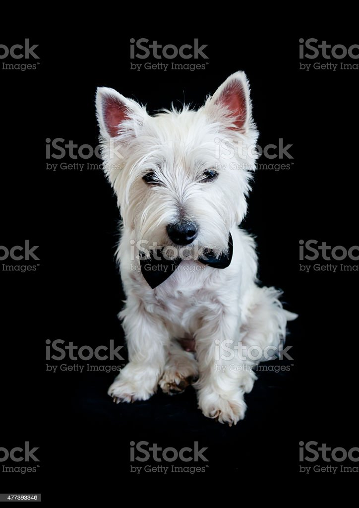 West Highland White Terrier Stock Photo Download Image Now Istock