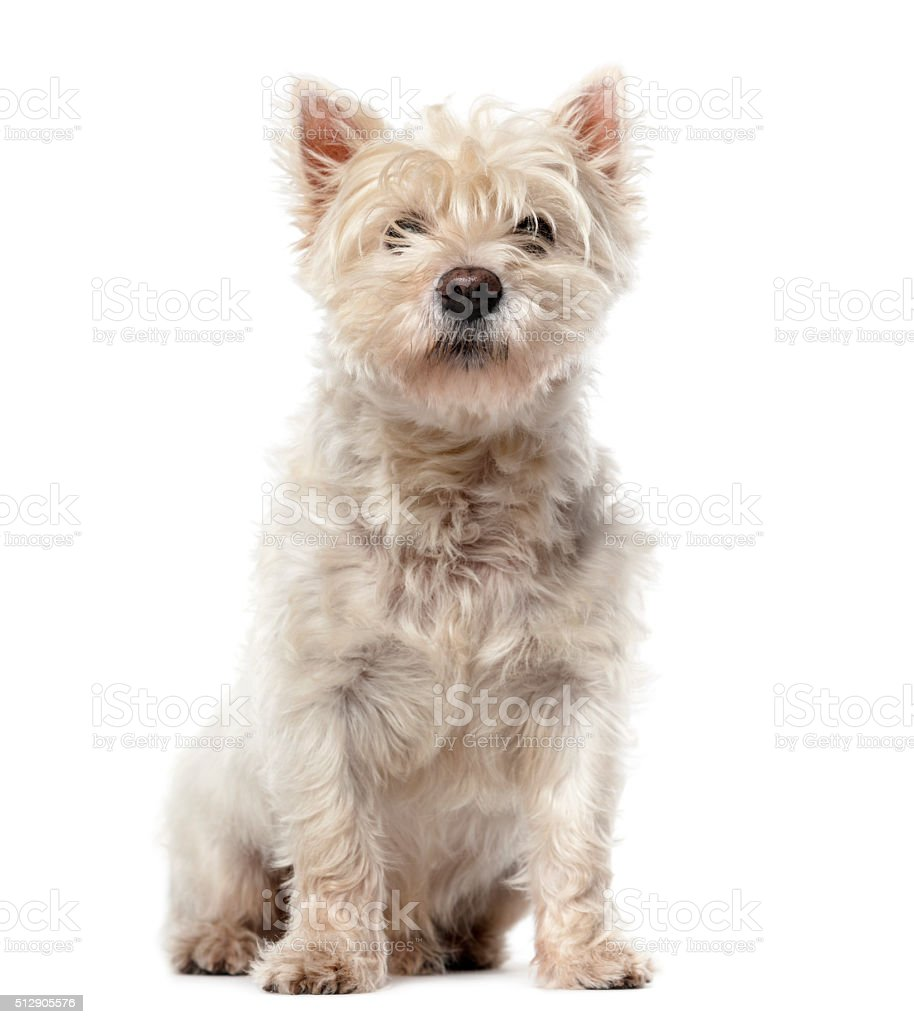 West Highland White Terrier (12 years old) stock photo