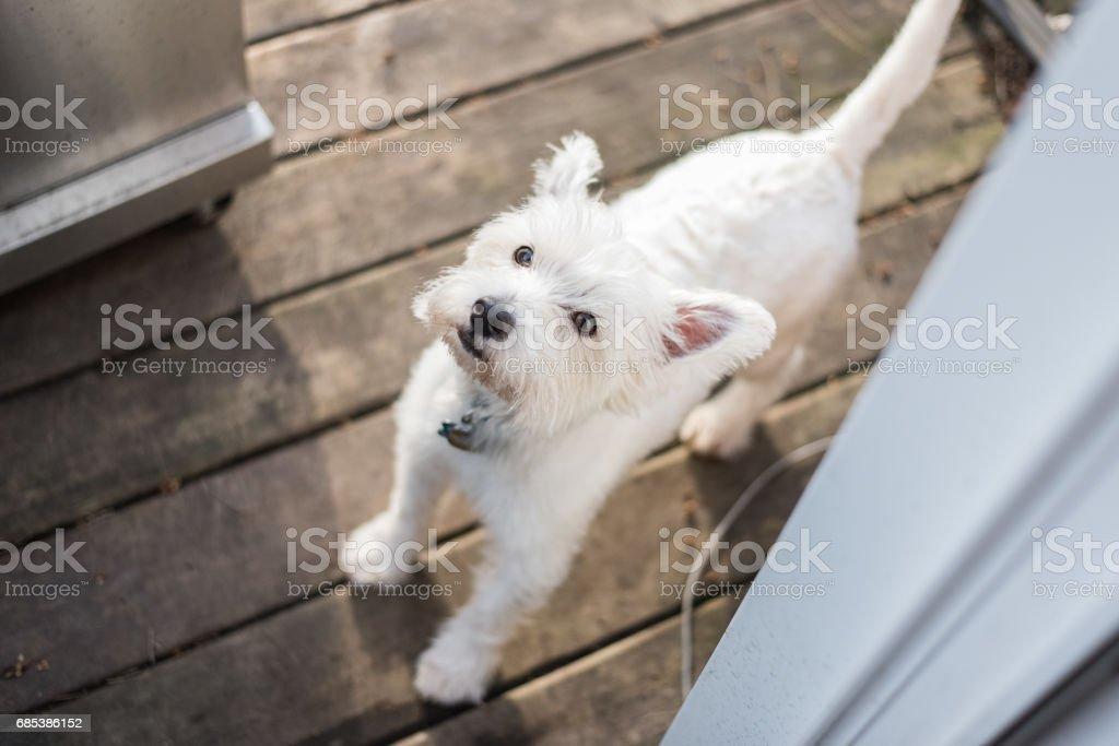 West Highland White Terrier zbiór zdjęć royalty-free