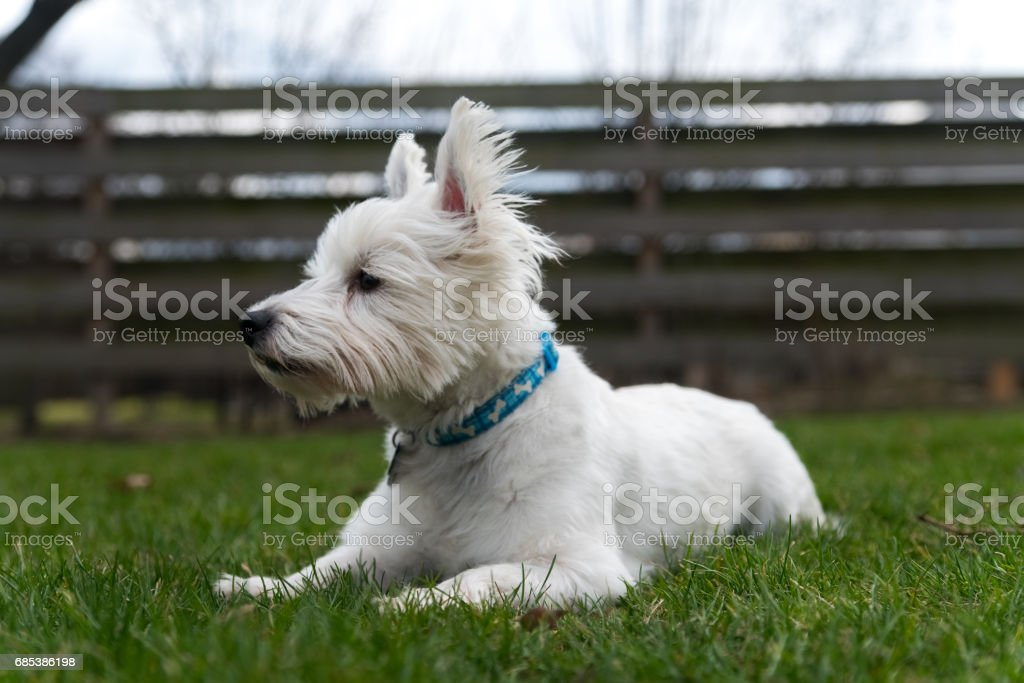 West Highland White Terrier foto de stock royalty-free