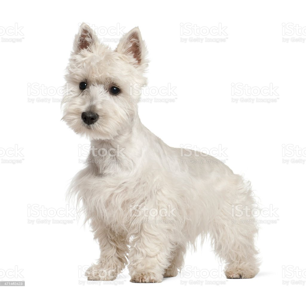West Highland White Terrier puppy, 6 months old, standing stock photo