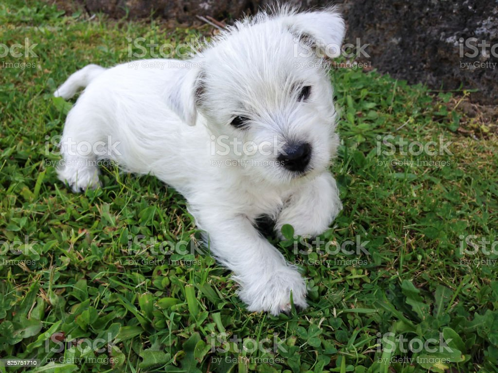 West highland white terrier puppy at 8 weeks old stock photo
