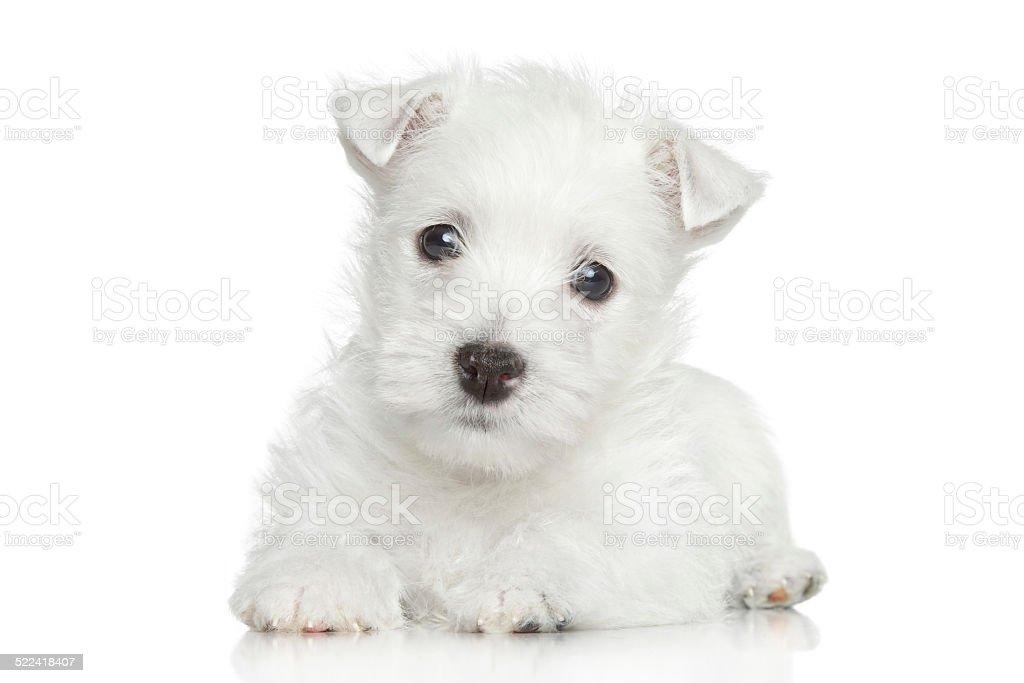 West Highland White Terrier puppy stock photo