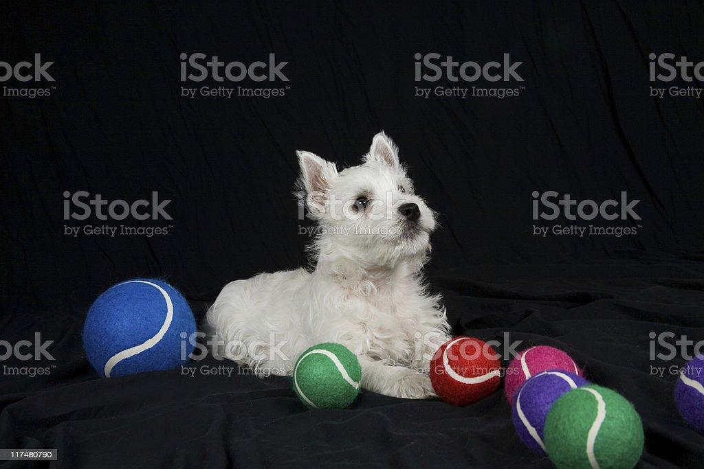 West Highland White Terrier Welpe (Westie) – Sitzbereich – Foto