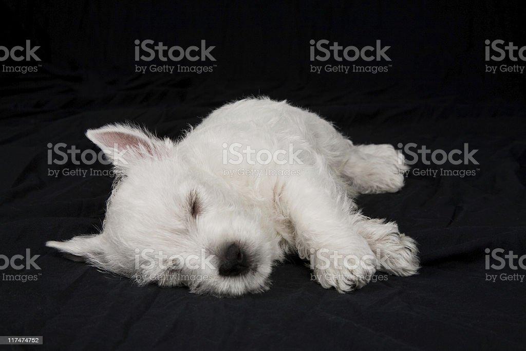 West Highland White Terrier Welpe (Westie) – Schlafbereich – Foto