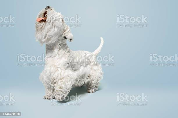West highland white terrier sitting against white background picture id1144788107?b=1&k=6&m=1144788107&s=612x612&h=kaevvhxp5jpbu4i6xsyssafuwh06ogxfv5pn77e 1hc=