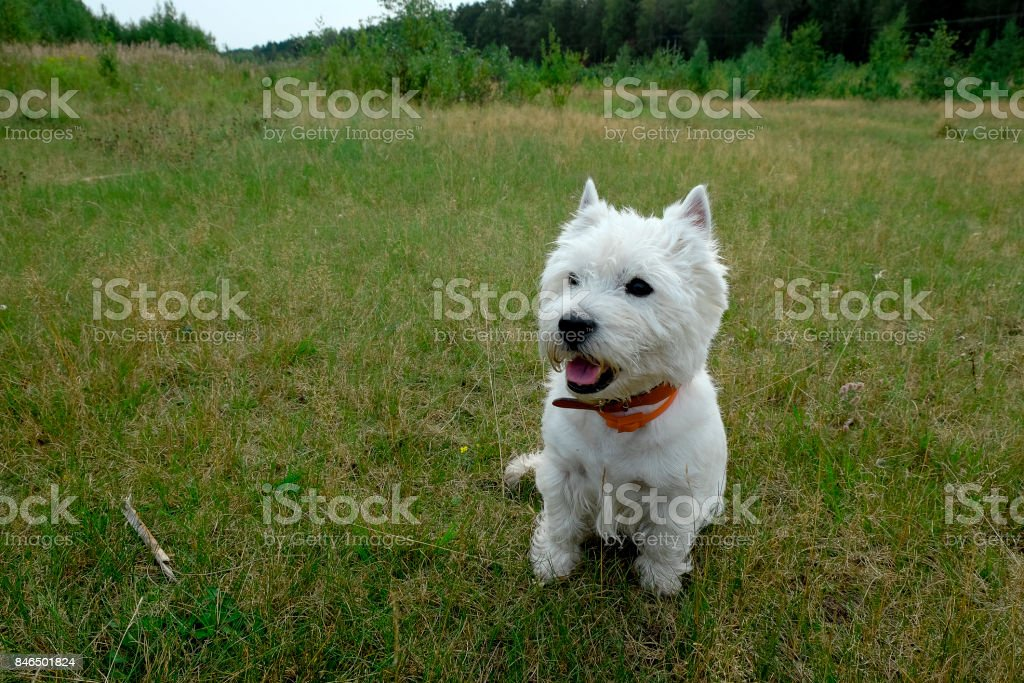 West highland white terrier sitting on the green grass. stock photo