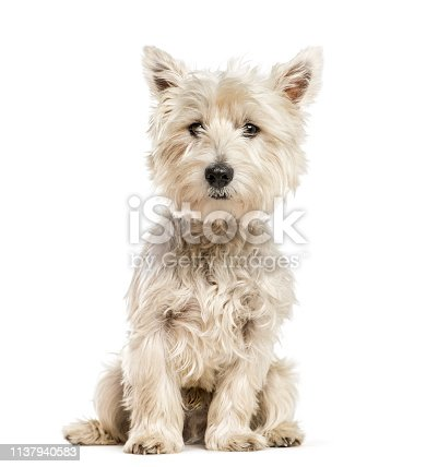 West Highland White Terrier, the Westie sitting in front of white background