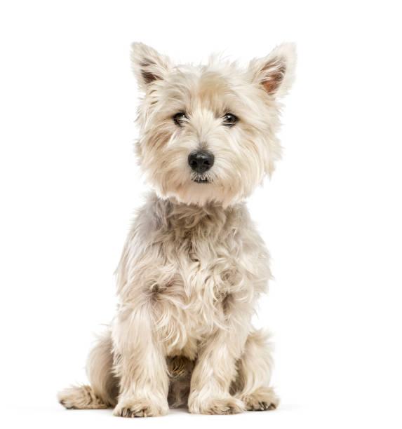 West highland white terrier the westie sitting in front of white picture id1137940583?b=1&k=6&m=1137940583&s=612x612&w=0&h=thhdmfa2gjzgpppabi kbytyoxmlazdbejbb15 ety0=