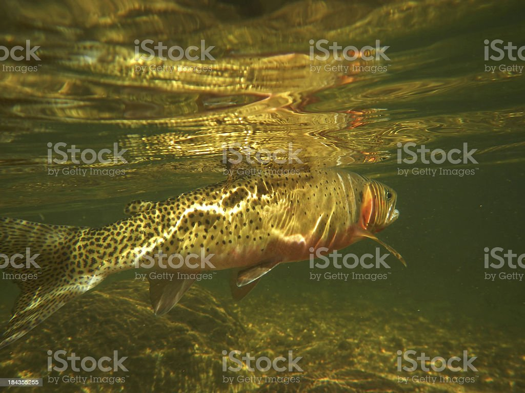 West Slope Cutthroat Trout Under Water stock photo