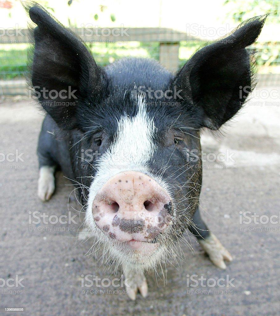 Westbrook the Berkshire Pig royalty-free stock photo