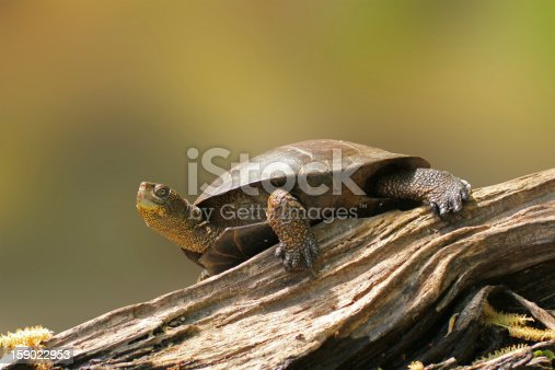 istock Wester Pond Turtle on a Log 159022953
