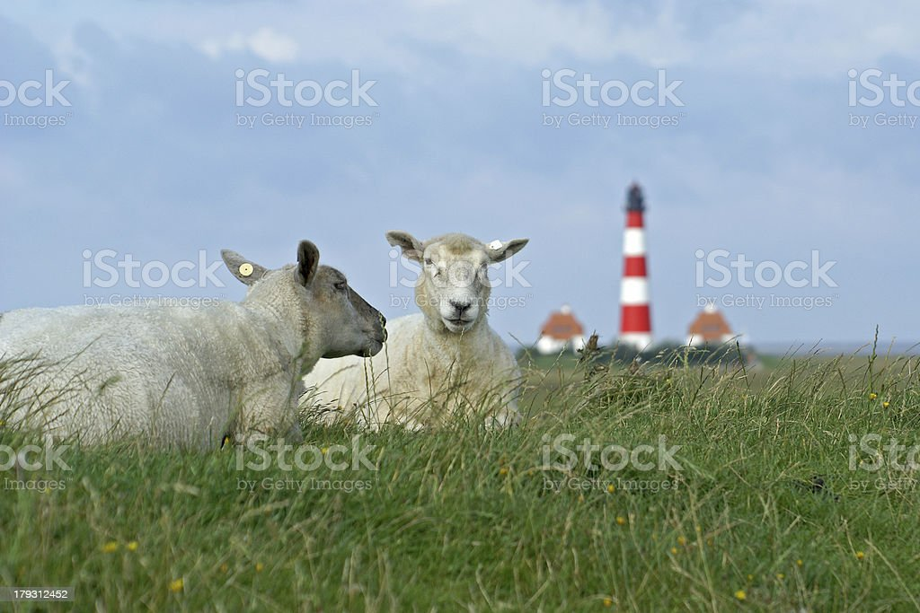 Westerhever lambs stock photo