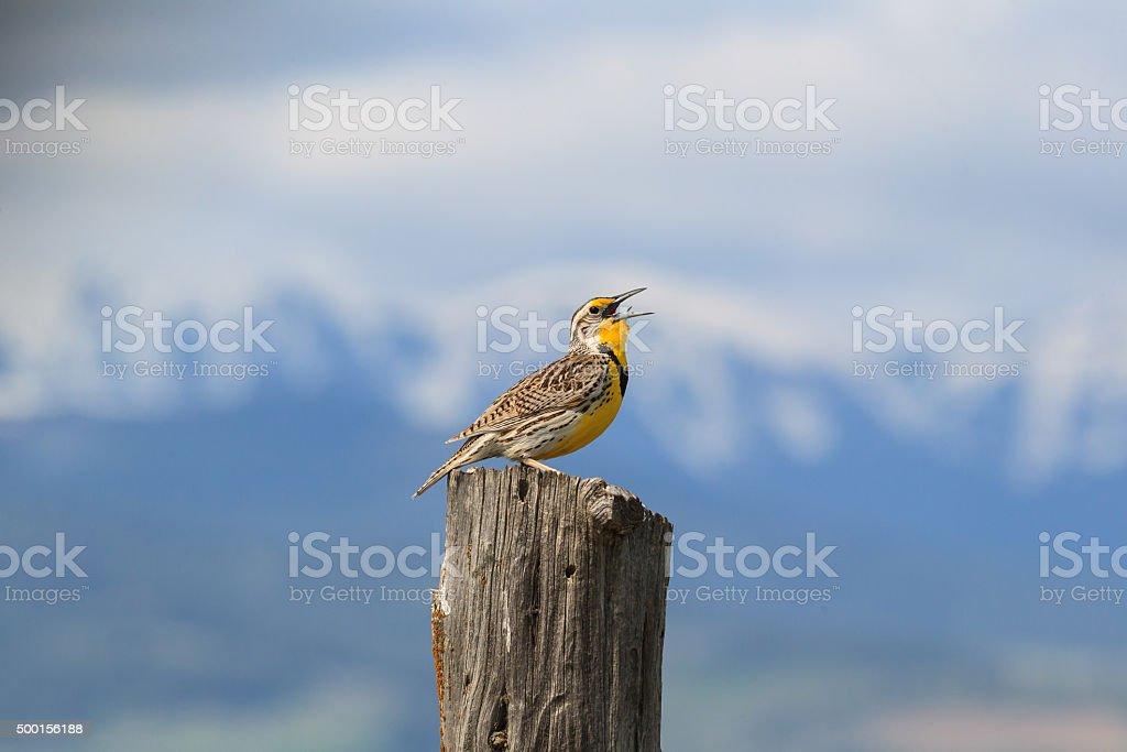 Westerm Meadowlark stock photo