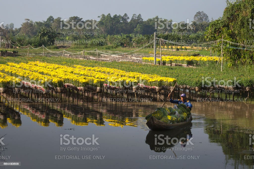western area farmer is harvesting for yellow daisies trees in the garden stock photo
