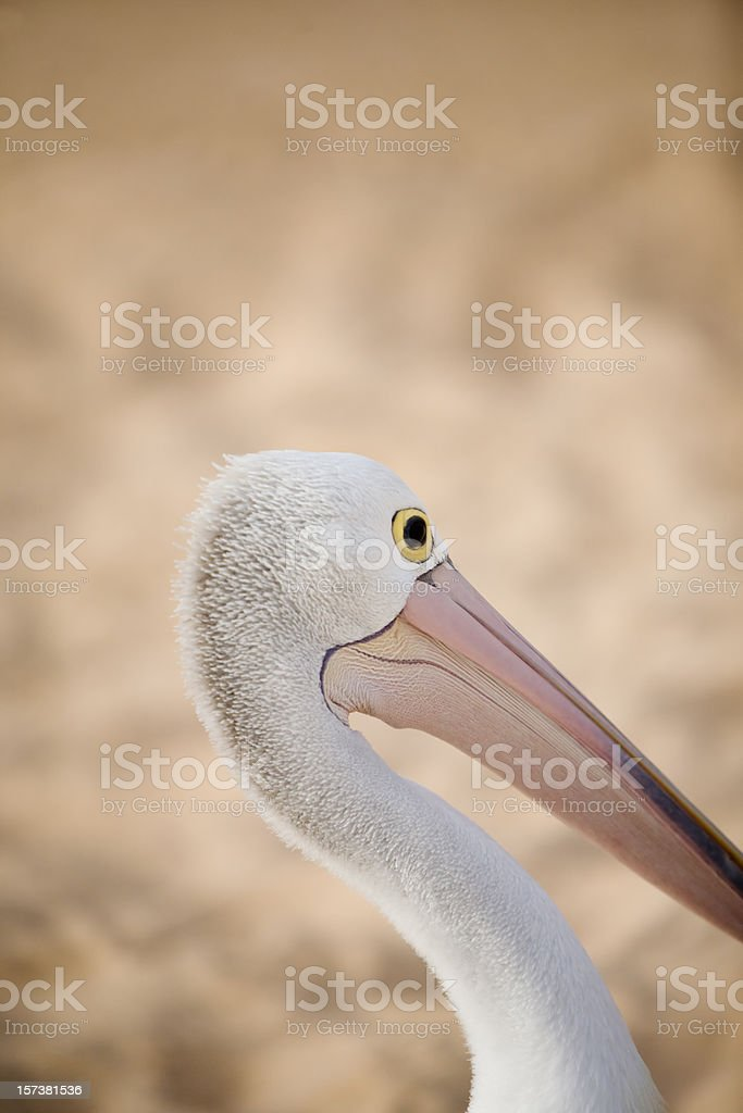 Western Australia, pelican stock photo