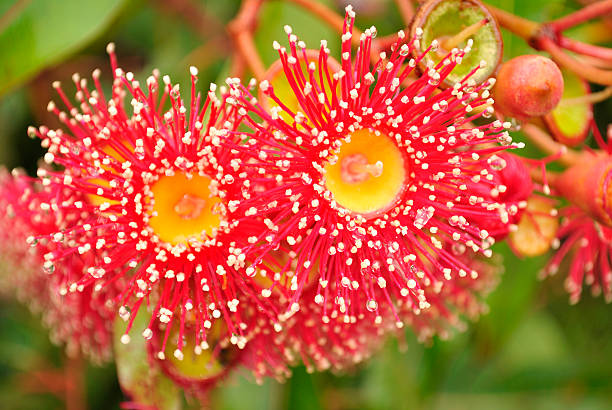Western Australian Gum Blossums stock photo