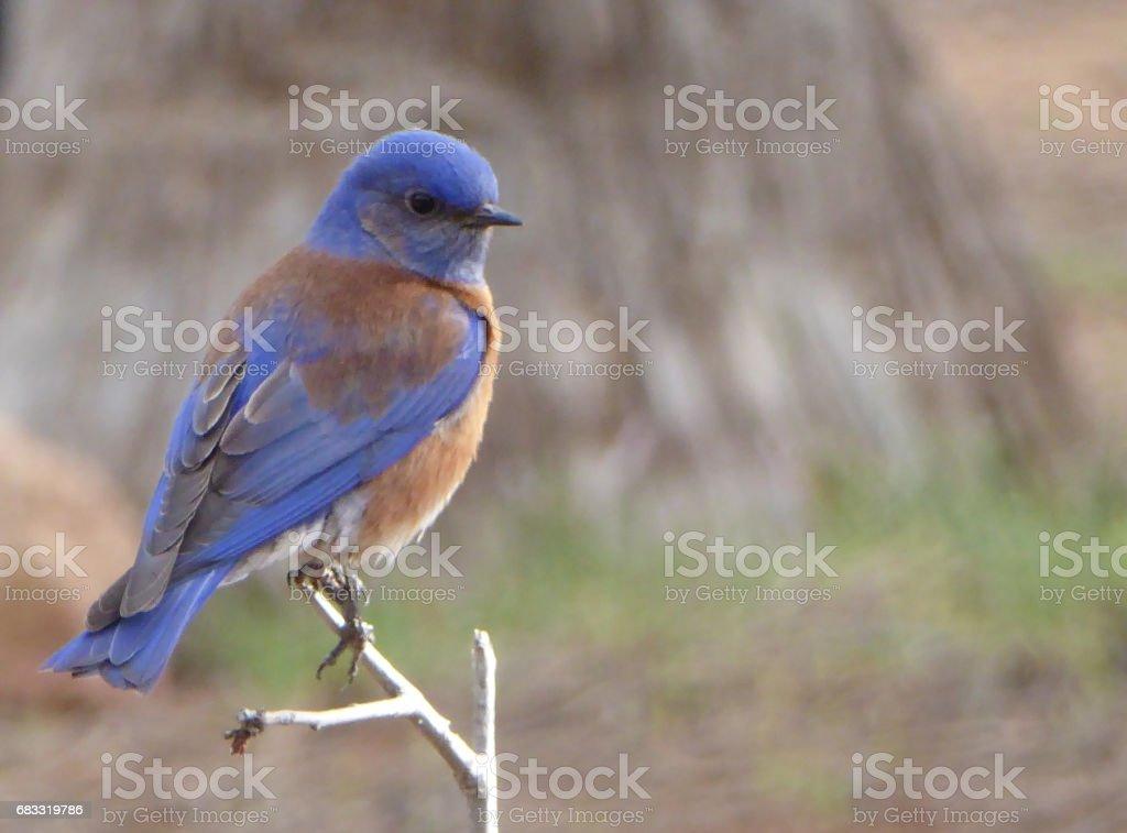 Western Blue Bird foto stock royalty-free