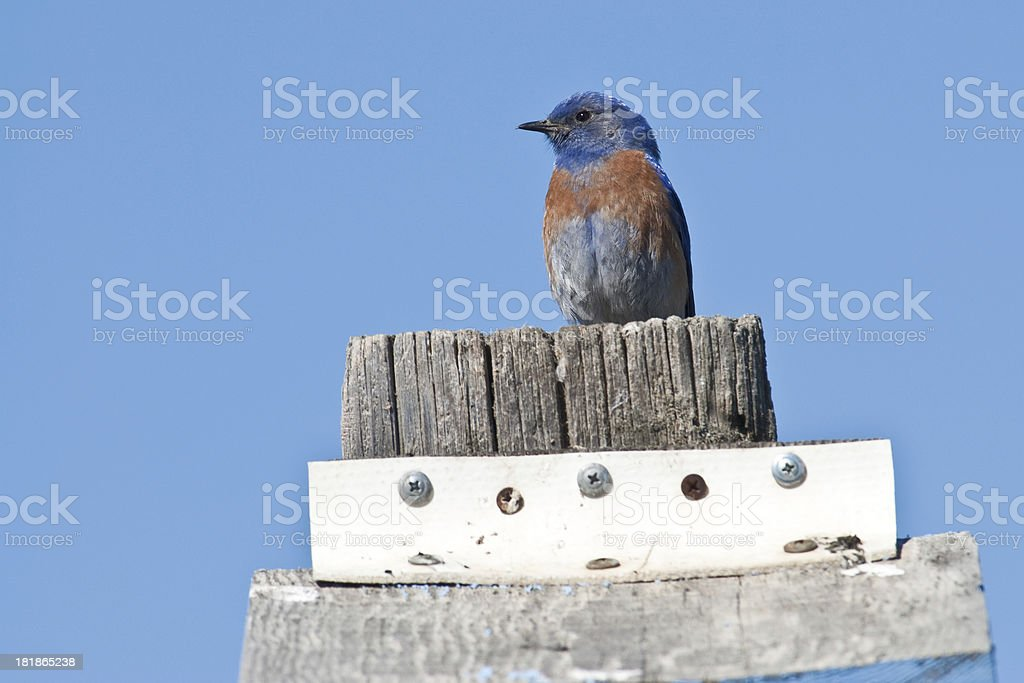 Western Bluebird Perched on a Birdhouse royalty-free stock photo