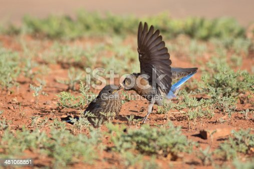 A female Western Bluebird (Sialia mexicana) flutters her wings as she offers an acorn weevil to her fledgling at Maxwell Canyon Park, Utah.